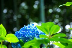 明月院ブルー II