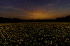 台風一過の向日葵