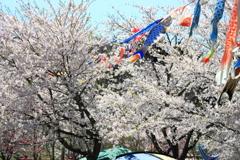 鯉のぼりと桜 IV