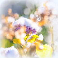冬紫陽花 I