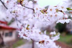 津軽の春 2018 II
