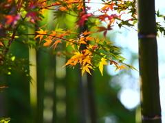 竹林と紅葉 II