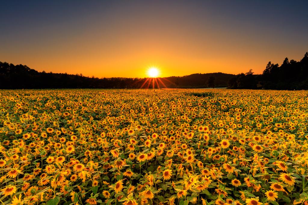夕陽に煌めくひまわりたち