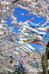 鯉のぼりと桜 III