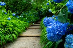 明月院ブルー V