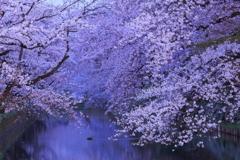 夜終桜 III