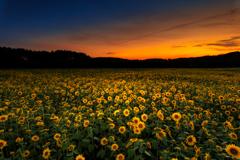 夜を迎える向日葵