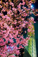 河津桜と幟