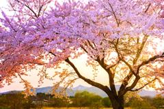 夕陽煌めく桜