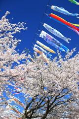 鯉のぼりと桜 II