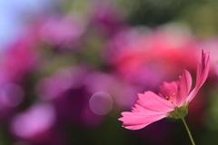秋桜、初夏を感じて