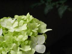 緑アジサイ