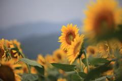 与謝野町向日葵