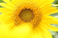 季節遅れの向日葵