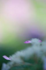 Baby Hydrangea