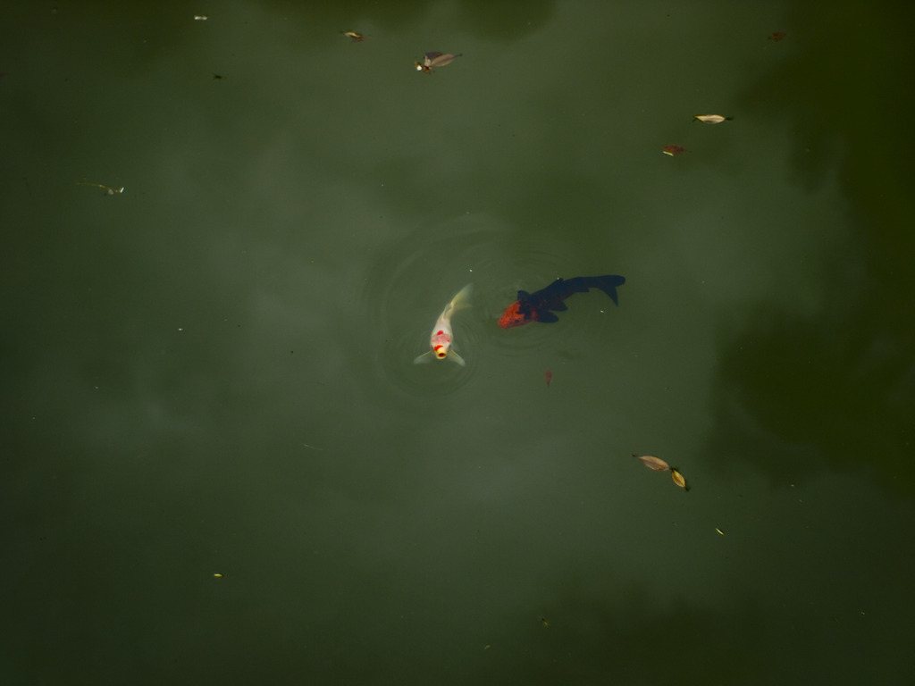 鯉に恋して