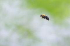 熊ん蜂さん 3