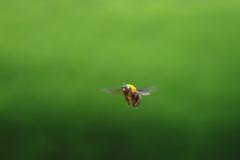 熊ん蜂さん 1