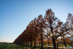 マキノ高原 メタセコイア並木3
