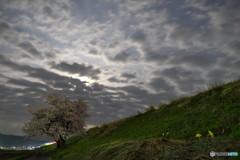 夜桜・雲厚く風強し