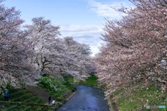 晴れ間の桜