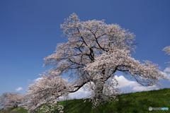 いつもの桜木