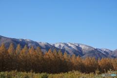 マキノ高原 メタセコイア並木1