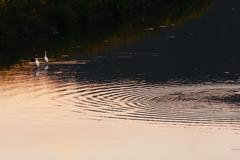 白鷺と波紋