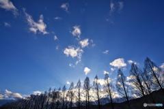 夕暮のメタセコイア並木