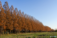 マキノ高原 メタセコイア並木2