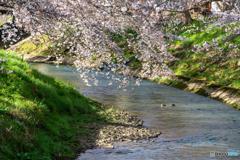 カモさんと桜