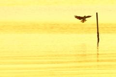 一羽のミサゴ