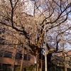 盛岡の石割桜