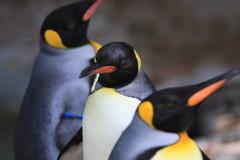 ペンギンさん、怒ってるの?