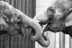 右が♂、左は♀、ラブラブな象さん♡