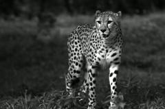 Wild Big Cat