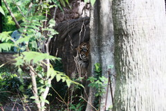 Tiger who peeps