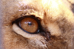 ライオンの瞳