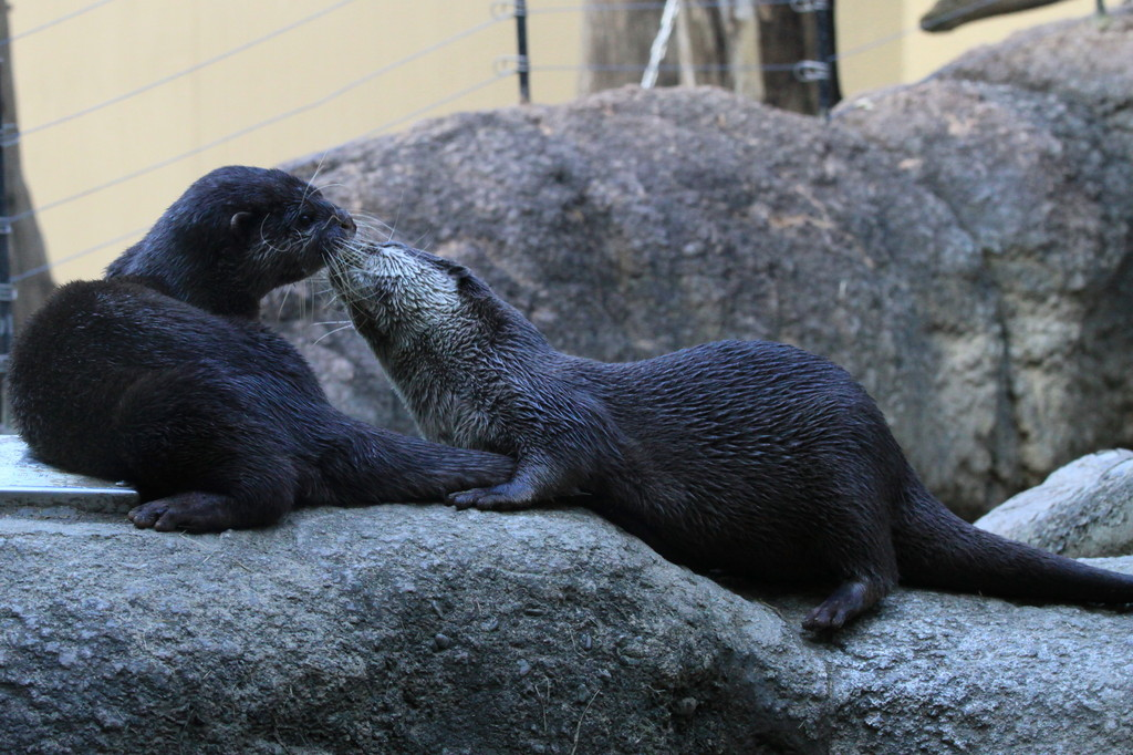 The otter married couple's kiss.