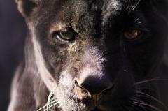 Black jaguar(color)