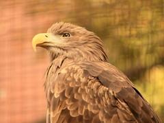 Mr white-tailed eagle.
