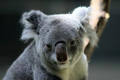 コアラ君、幸せだよね! キミは幸せ?