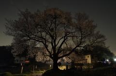 Sakura Silhouette