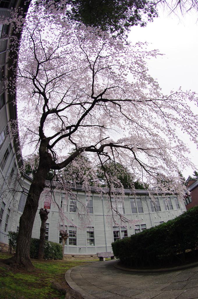 中庭の枝垂れ