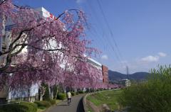 マルコメ桜