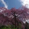 桜満開でした!
