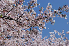 桜満開 #2