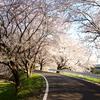 桜色の小道