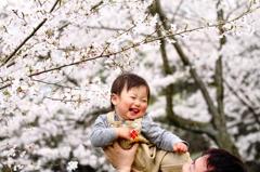 だっこで桜