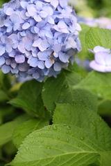 紫陽花03